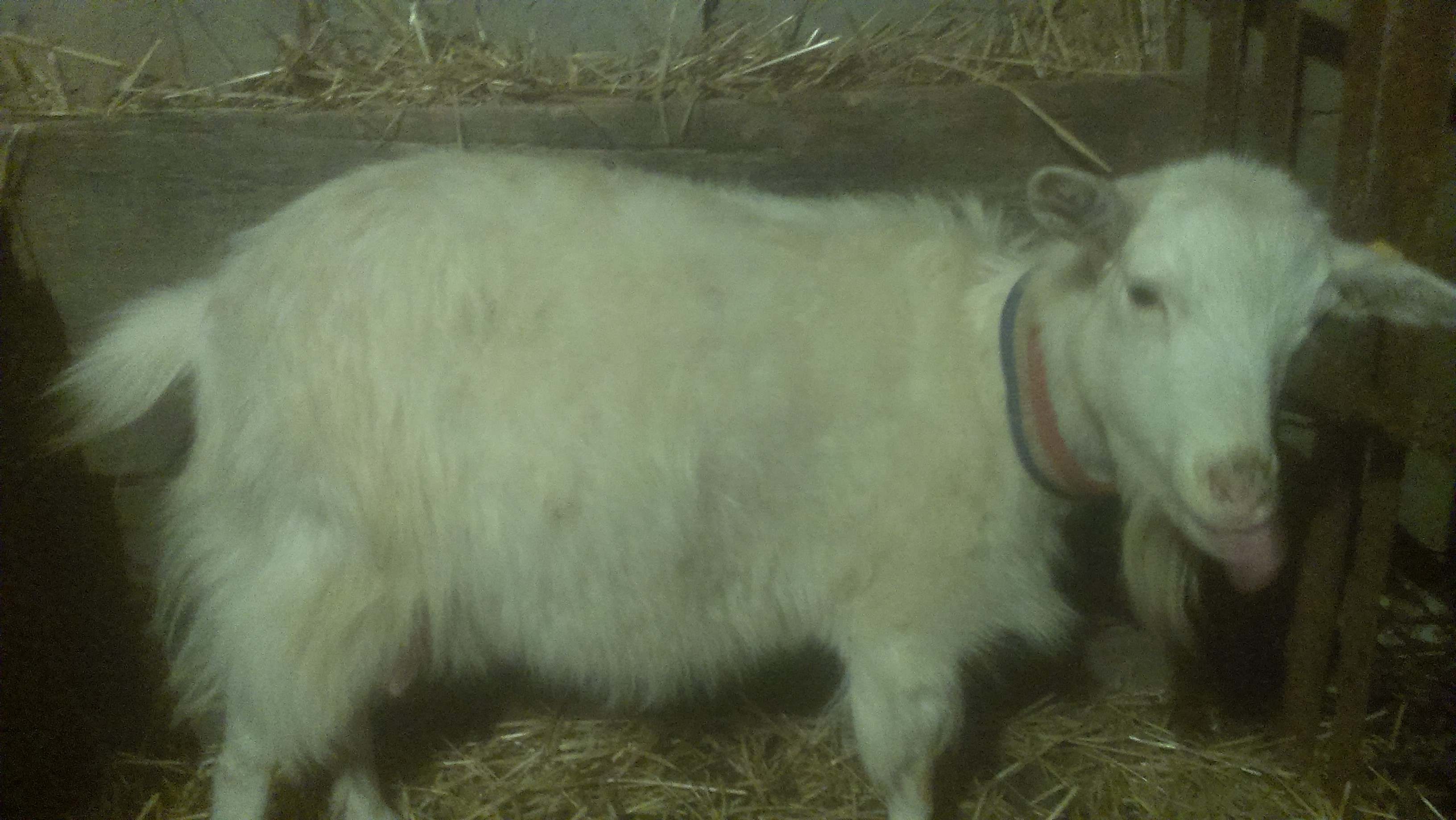Как определить беременность у козы