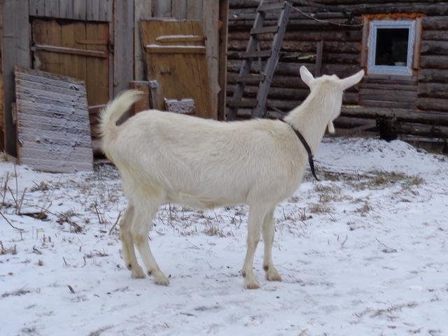 как определить беременность козы фото 3