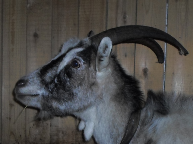 Фото беременной козы 1