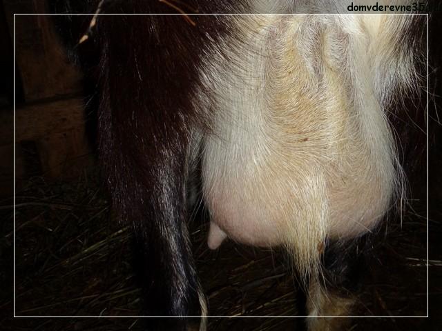 запуск козы
