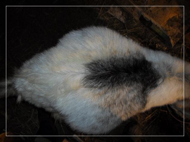 фото беременной козы