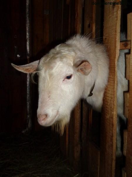 портрет козла