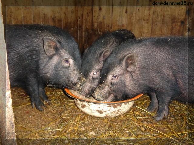 вес вислобрюхих свиней