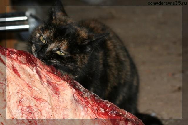 Кошка в деревне ест мясо