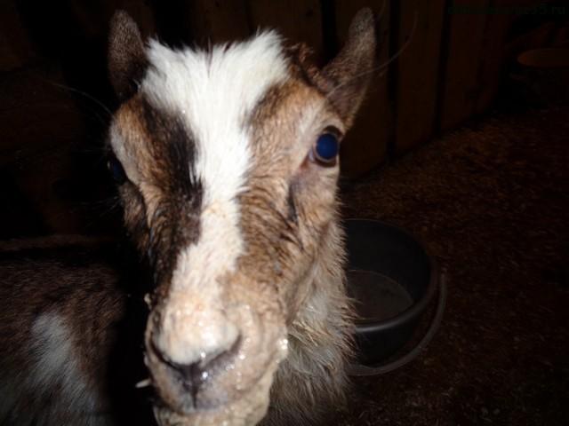 козленок пьет заменитель молока